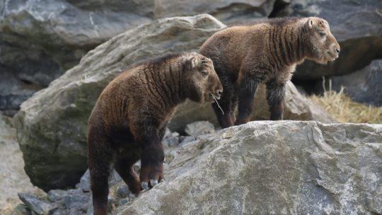 Chinese gouden takins geboren in Pairi Daiza