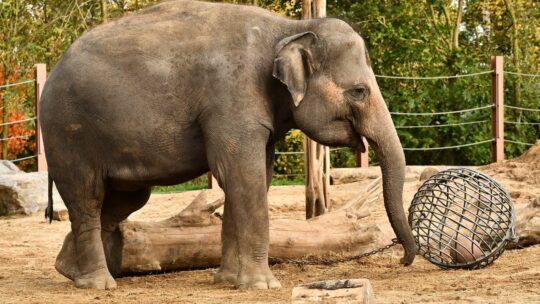 Pairi Daiza verwacht derde olifantengeboorte in twee jaar