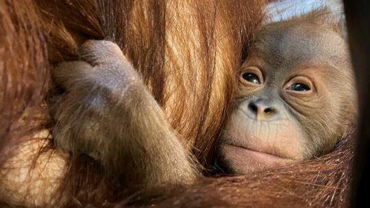 Blijde geboorte van kleine orang-oetan in Pairi Daiza