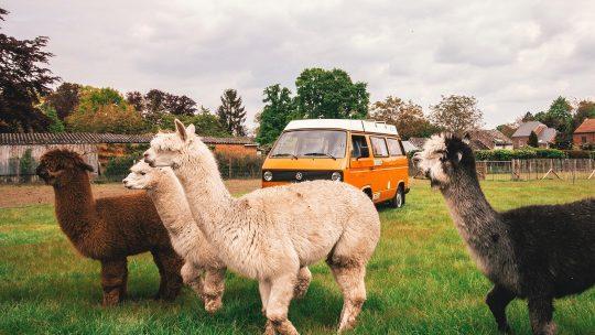Slapen tussen de schapen, de koeien en de alpaca's: De leukste adresjes voor een staycation in de natuur