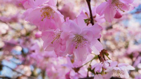 Japanse Tuin in Hasselt toont met trots bloeiende Japanse kerselaars