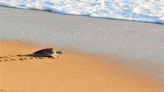 De beste plekken om schildpadden te spotten in Thailand