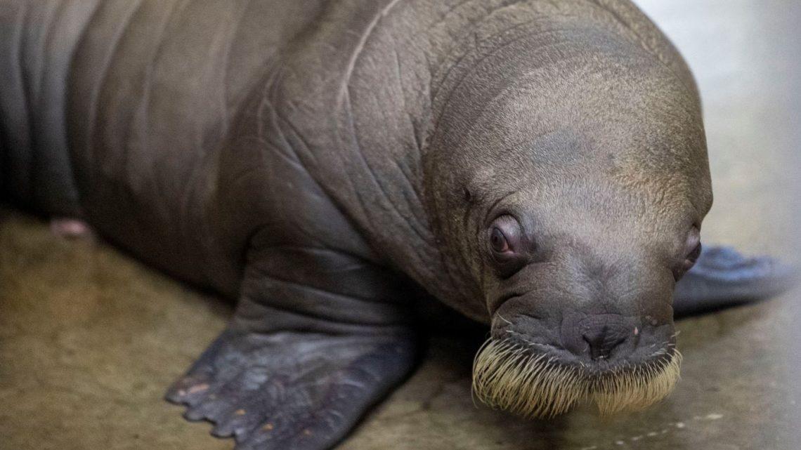 Baby walrus geboren in Pairi Daiza