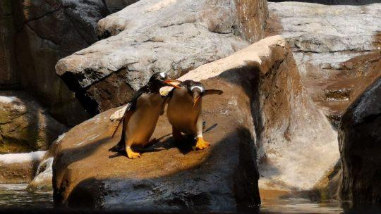 Pairi Daiza opent unieke pinguïngrot en hotelkamers met zicht op de pinguïns