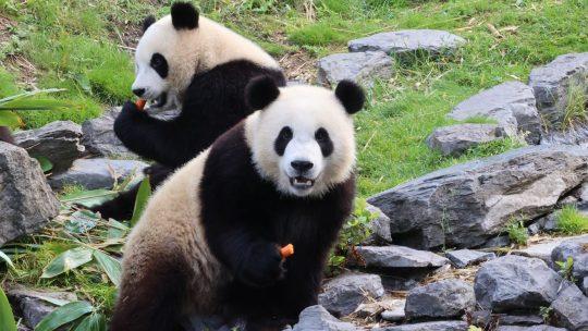 Pandatweeling Pairi Daiza viert tweede verjaardag en is klaar voor volgende fase in hun leven